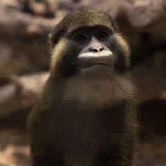 Կապտադեմ  կապիկ