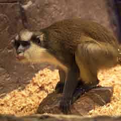 Սպիտակակատար  կապիկ