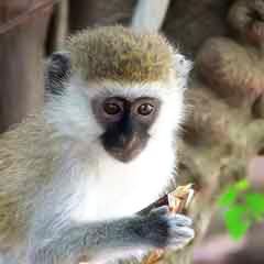 Վերվետ կապիկ