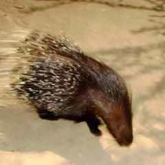 Гребенчатый дикобраз